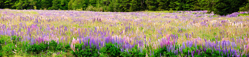 Flowering lupins Eglington Valley Fjordland National Park New Zealand