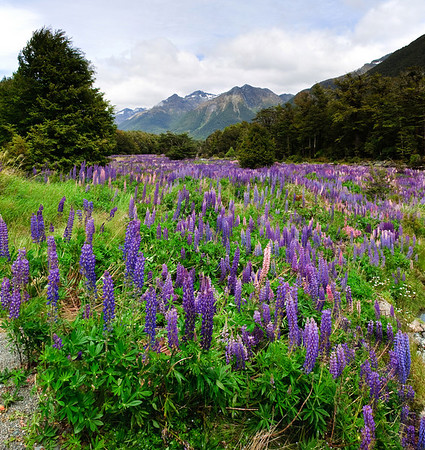 Flowering lupins Cascade Creek Fjordland National Park New Zealand