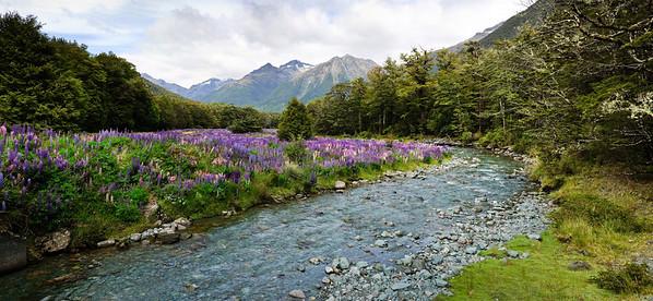 Flowering lupins Cascade Creek Fjorland National Park New Zealand