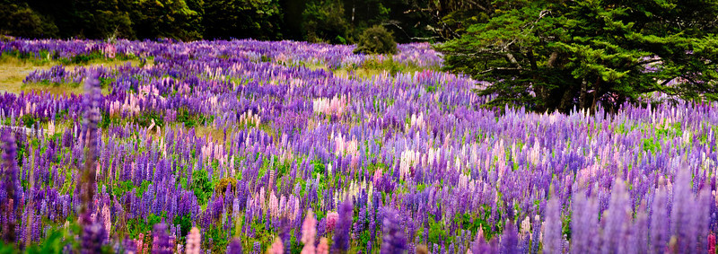 Flowering lupins Cascade Creek Fjorland National Park New Zealand