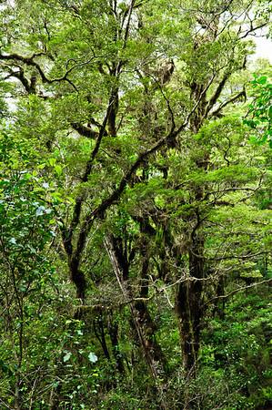 Beech rainforest The Chasm Fjordland National Park South Island New Zealand