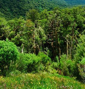 Beech rainforest Fjordland National Park South Island New Zealand