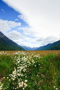Mountain daisies Eglington Valley Fjordland National Park New Zealand