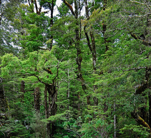 Beech trees Rain forest Cascade Creek Fjorland National Park South Island New Zealand
