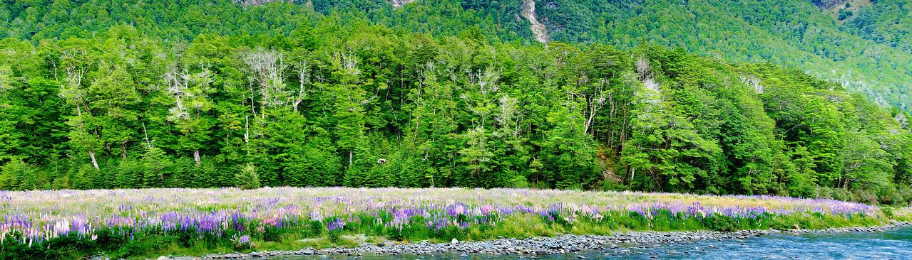 Flowering lupins Eglington Valley Fjordland National Park New Zealand
