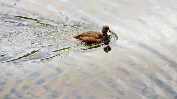 Duck Mirror Lakes Fjordland National Park New Zealand