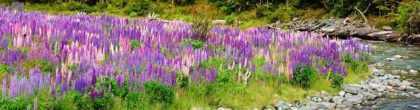 Flowering lupins Cascade Creek Fjordland National Park New Zealand