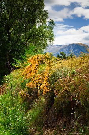Flowering broom Glenorchy South Island New Zealand
