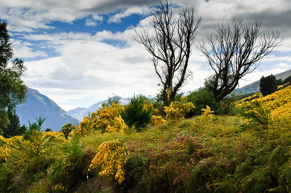 Hillside covered in flowering broom Glenorchy South Island New Zealand