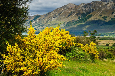 Flowering broom Glenorchy South Island New Zealand