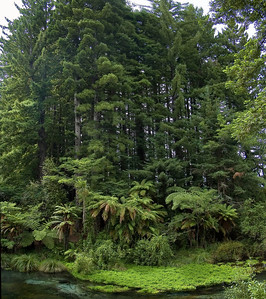 Ferns and redwoods Hamurana Spring New Zealand - 2 Jan 2006