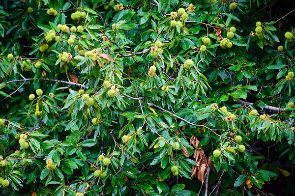Chestnut tree Hamurana Golf Course