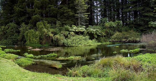 Ferns and redwoods Hamurana Spring New Zealand - 2 Jan 2006
