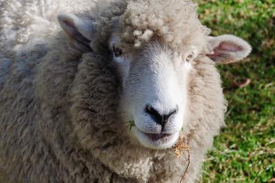 Sheep portrait Hamurana North Island New Zealand