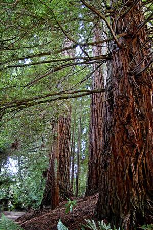 Redwoods Hamurana Spring New Zealand - 2 Jan 2006