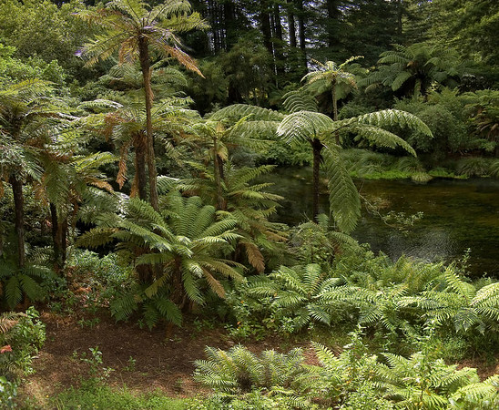 Ferns Hamurana Spring New Zealand - 2 Jan 2006