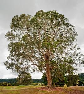 Eucalyptus Hamurana Golf Course