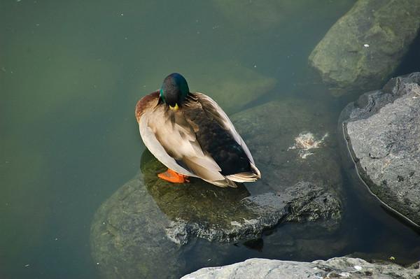 Sleeping duck Kaikoura