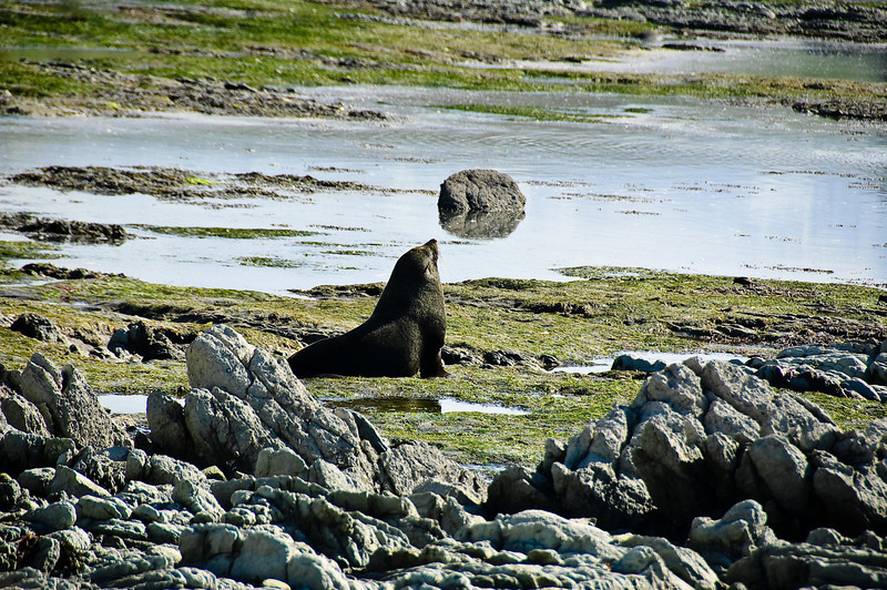 Seal colony Kaikoura