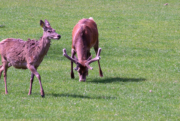 Deer sctock Karapiro New Zealand - 4 Nov 2006