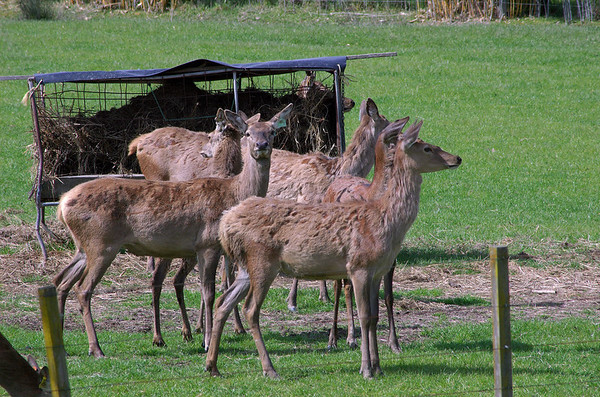 Deer herd Karapiro New Zealand - 4 Nov 2006