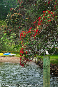 Pohutukawa in bloom School House Bay Kawau Island