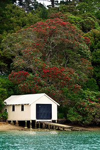 Boat shed and flowering pohutukawa School House Bay Kawau Island New Zealand