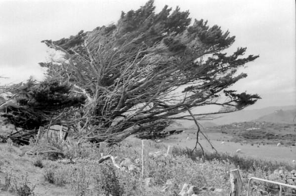 Tree Otago peninsula New Zealand - 197X