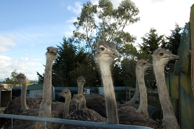Piako Ostrich Farm Piako Road Turua New Zealand - 5 May 2007