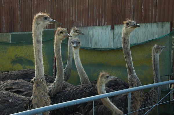 Piako Ostrich Farm Piako Road Turua New Zealand - 5 May 2007