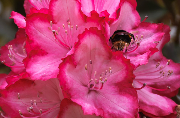 Bumble bee on pink rhododendron flower Hamurana Rororua