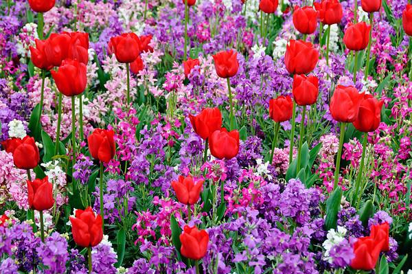 Tulips and stock flowers Rotorua