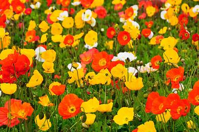 Flowering poppies Government Gardens Rotorua