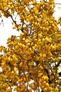 Flowering kowhai tree Rotorua