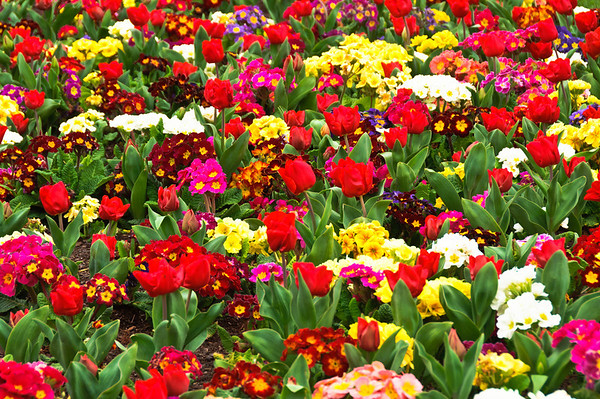 Tulips and polyanthus Government Gardens Rotorua