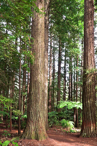 Red wood trees Rotorua