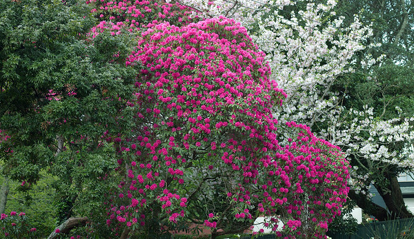 Rhododendron Auckland New Zealand - 23 Sep 2003