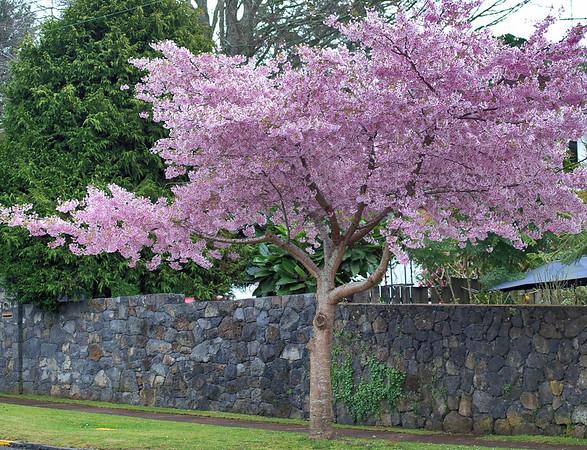 Cherry blossoms Auckland New Zealand - 23 Sep 2003
