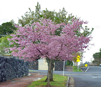 Cherry blossoms St Andrew Street Auckland New Zealand - 23 Sep 2006
