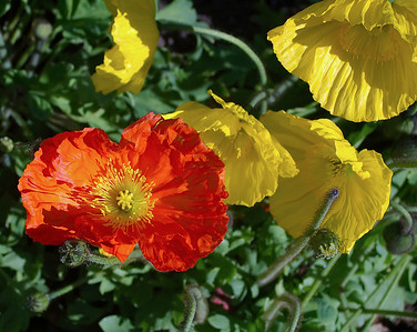 Poppies Cornwall Park Auckland New Zealand - 24 Sep 2004