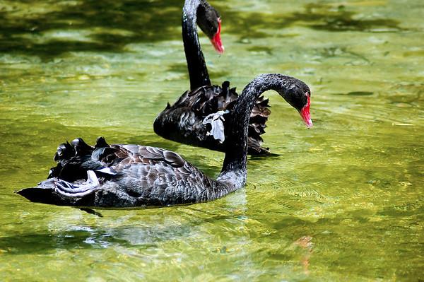 Black swans Tarawera lake Tarawera New Zealand