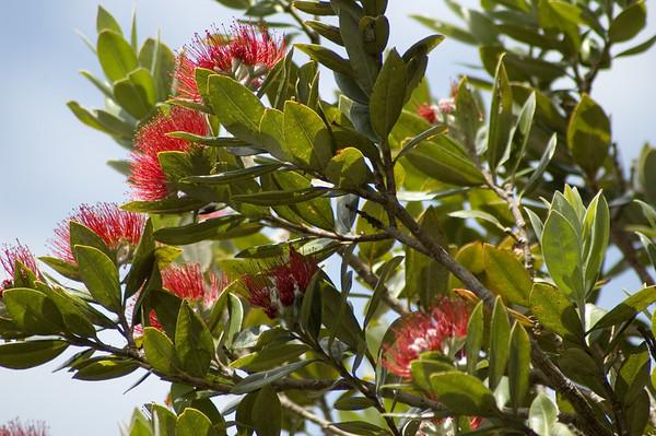 Pohutukawa bloom Lake Tarawera New Zealand - 30 Dec 2005