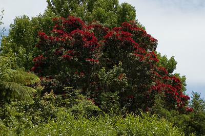 Pohutukawa in bloom Tarawera New Zealand