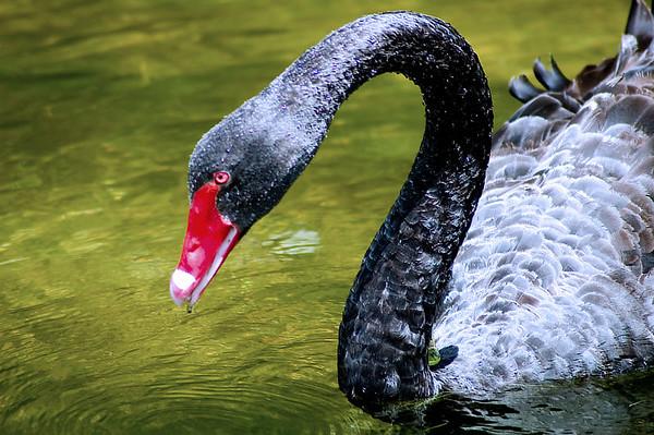 Black swan Tarawera lake Tarawera New Zealand