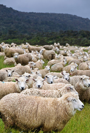 Sheep flock Catlins South Island New Zealand