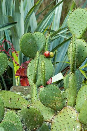 Cactus Waitakaruru Arboretum Hamilton New Zealand - 30 Apr 2006