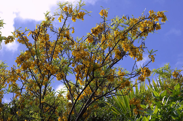 Kōwhai flowers - Sophora microphylla Kōwhai is māori for yellow Tiritiri Mtangi Island New Zealand - 10 Sep 2006
