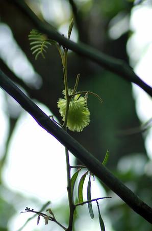 Wattle flower Tiritiri Matangi Island New Zealand - 10 Sep 2006