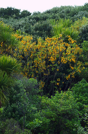 Kowhai in bloom Tiritiri Mtangi Island New Zealand - 10 Sep 2006