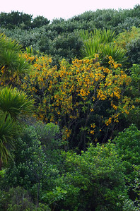 Kowhai in bloom Tiritiri Mtangi Island New Zealand - 10 Sep 2006